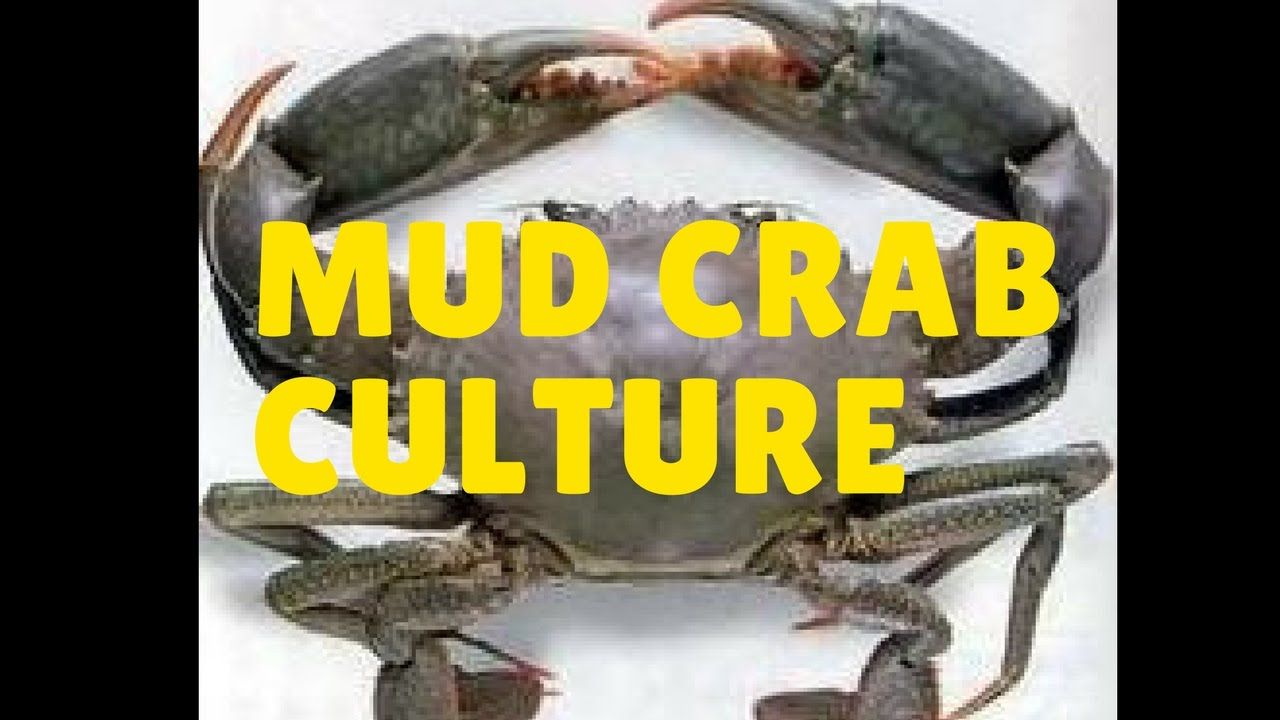 mud crab culture baby Carlys pet crab