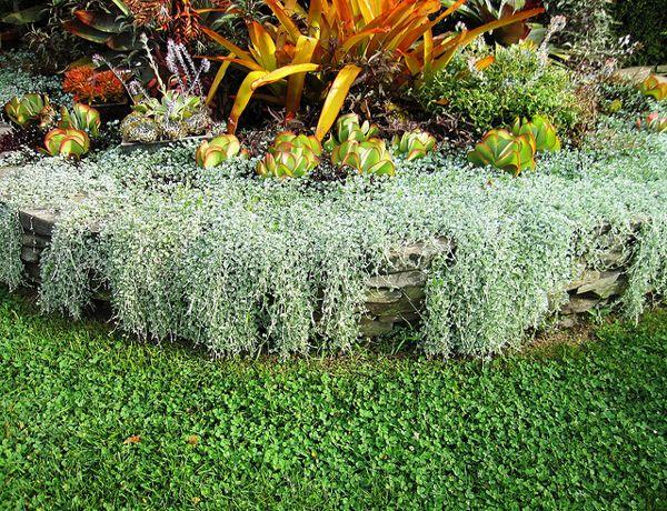 How To Grow Dichondra Plants Plants Garden Harvest Container Gardening