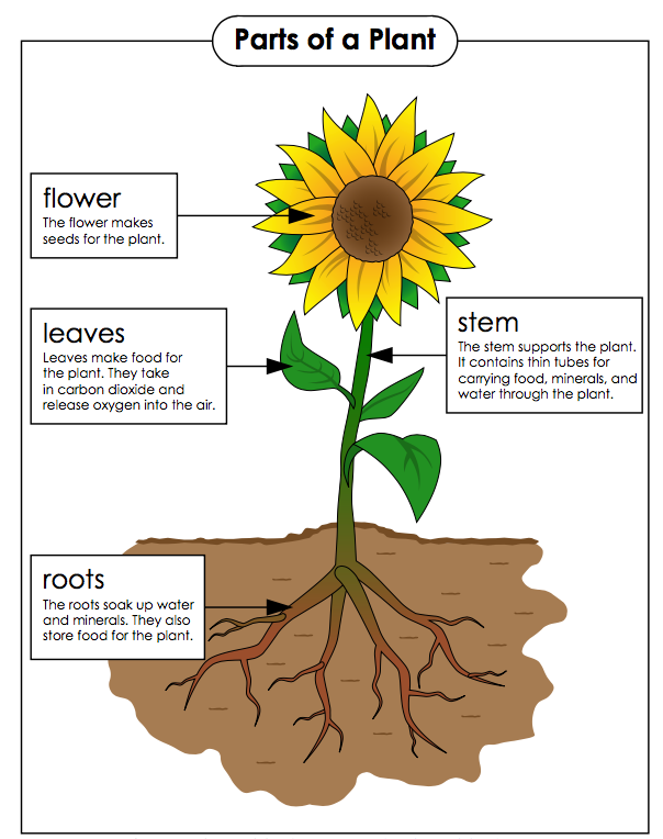 Parts of a plant and their functions in 2020 Parts of a