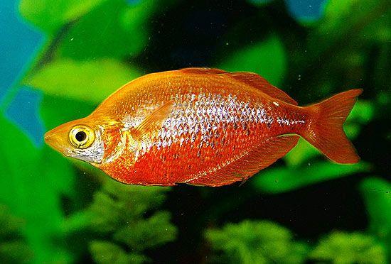 Red Rainbowfish Google Search Rainbow Fish Beautiful Rainbow Fish Pet