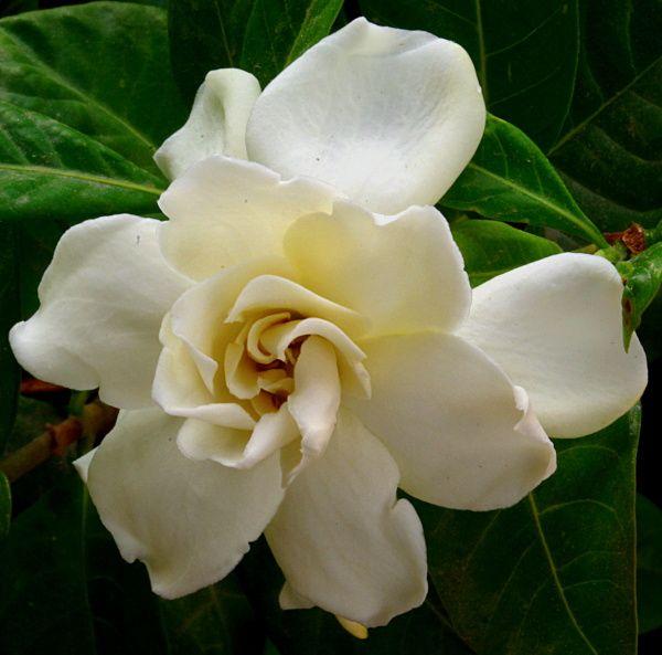 Gardina Flowers Gardenia In My Opinion Is The Most Beautiful Flower It S Beautiful Gardina Flowers Flowers Most Beautiful Flowers