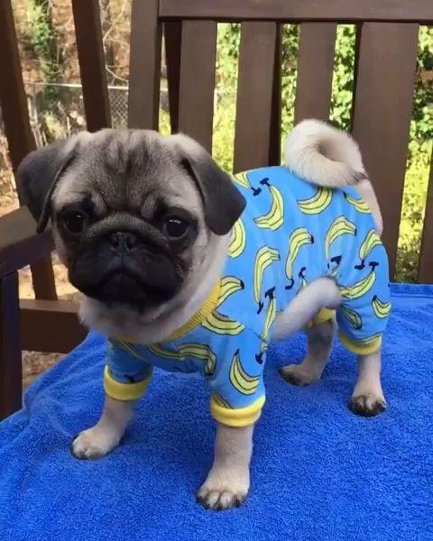 You Ve Got Pug Mail Pugs Pug Puppies Cute Pugs