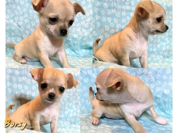 Akc Champion Line Applehead Chihuahua Puppies Akc Chihuahua