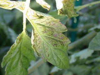 Virus de la maladie bronz e de la tomate jardins et - Maladie pied de tomate ...