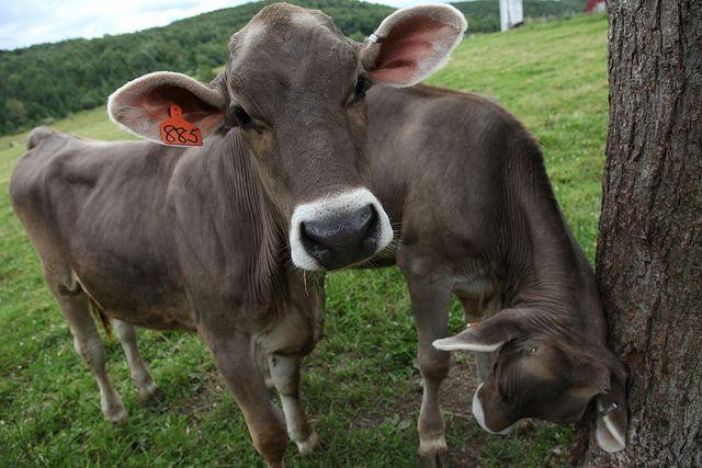 Brown Swiss cows/heifers