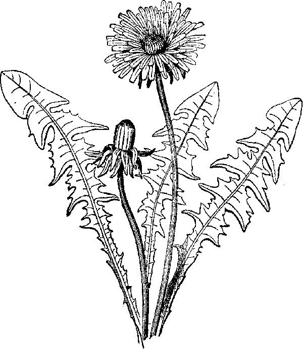 Dandelion Leaf Drawing Drawings Coloring Pages
