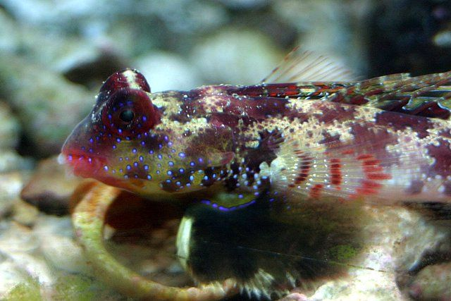 Scooter Blenny One Of The Most Difficult Marine Fish To Be Kept In An Aquarium Most Of Marine Fish Is Not Easy To Care For When Marine Fish Habitats Fish Pet