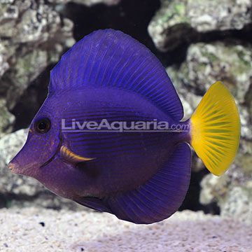 Red Sea Purple Tang Fish Pet Fish Animals