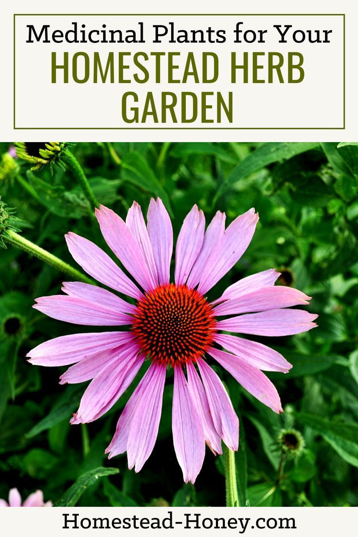 Easy to Grow Herbs for your Homestead Medicinal Herb Garden is part of Medicinal herbs garden, Herb garden, Medicinal herbs, Growing herbs, Herbs, Organic herbs - Select the right herbs for your medicinal herb garden with these easy to grow herbs to create your own herbal remedies from garden to medicine cabinet!