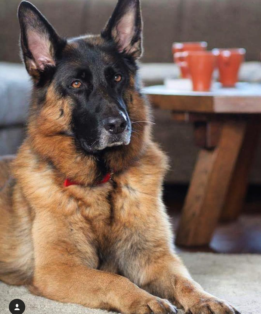 Stunning Rescued Gsd Featured Account Zero2nero Gsdsofigworld