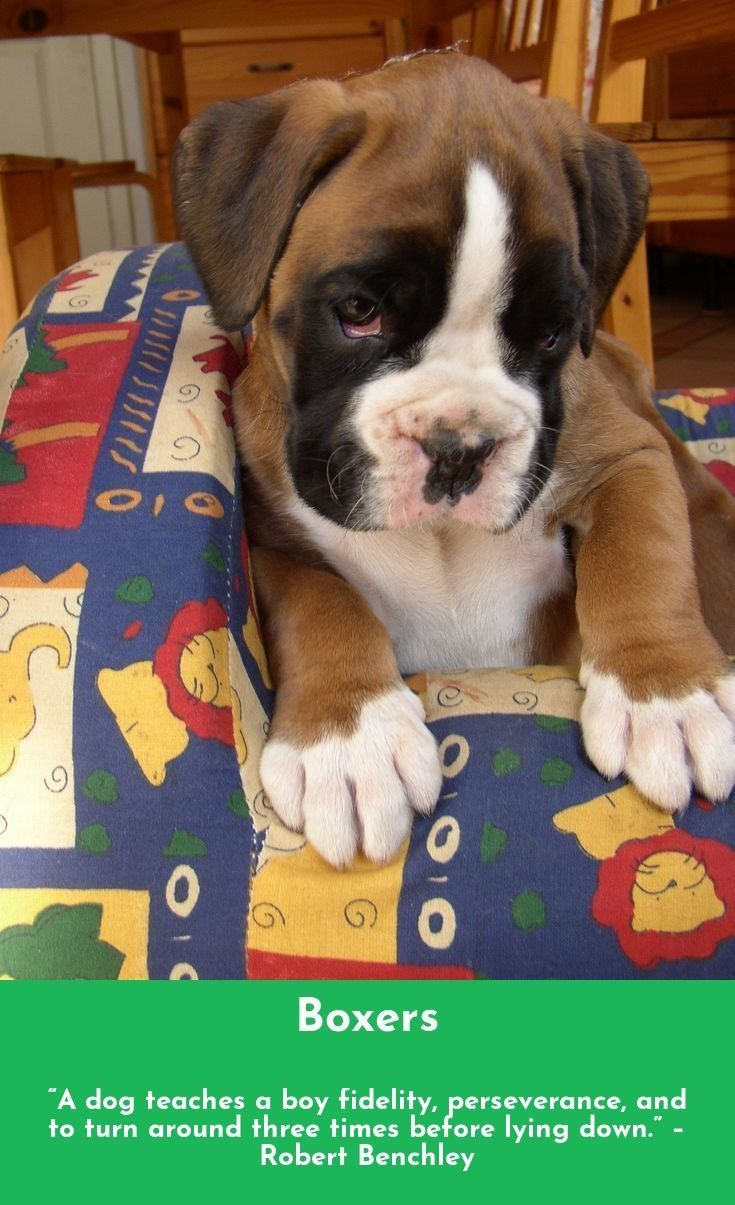 Follow The Link For More Info Boxers Follow The Link For More Info Boxers Boxer Dogs Boxer Puppy Boxer Puppies