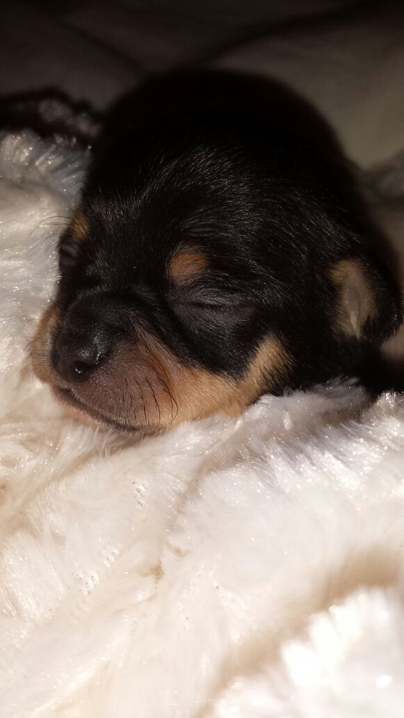 Absolutely Adorable True to Type Chihuahua Puppies | Airdrie, Lanarkshire | Pets4Homes