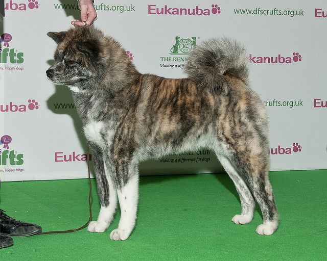 Dfs Crufts 2010 Bob Japanese Akita Inu Akita Dog Japanese Dog Breeds Japanese Dogs