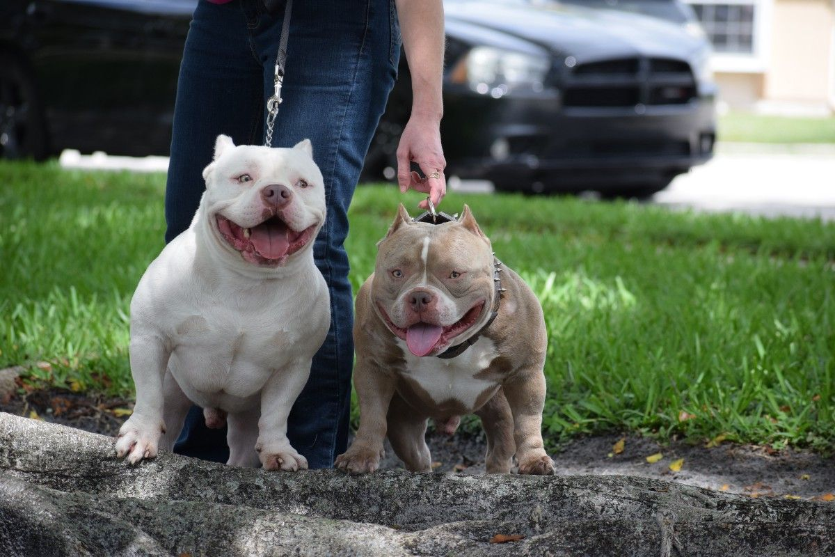 The Best Pocket American Bully Studs 2019 Pocket Bully American Bully Kennels Dog Sleeping In Bed