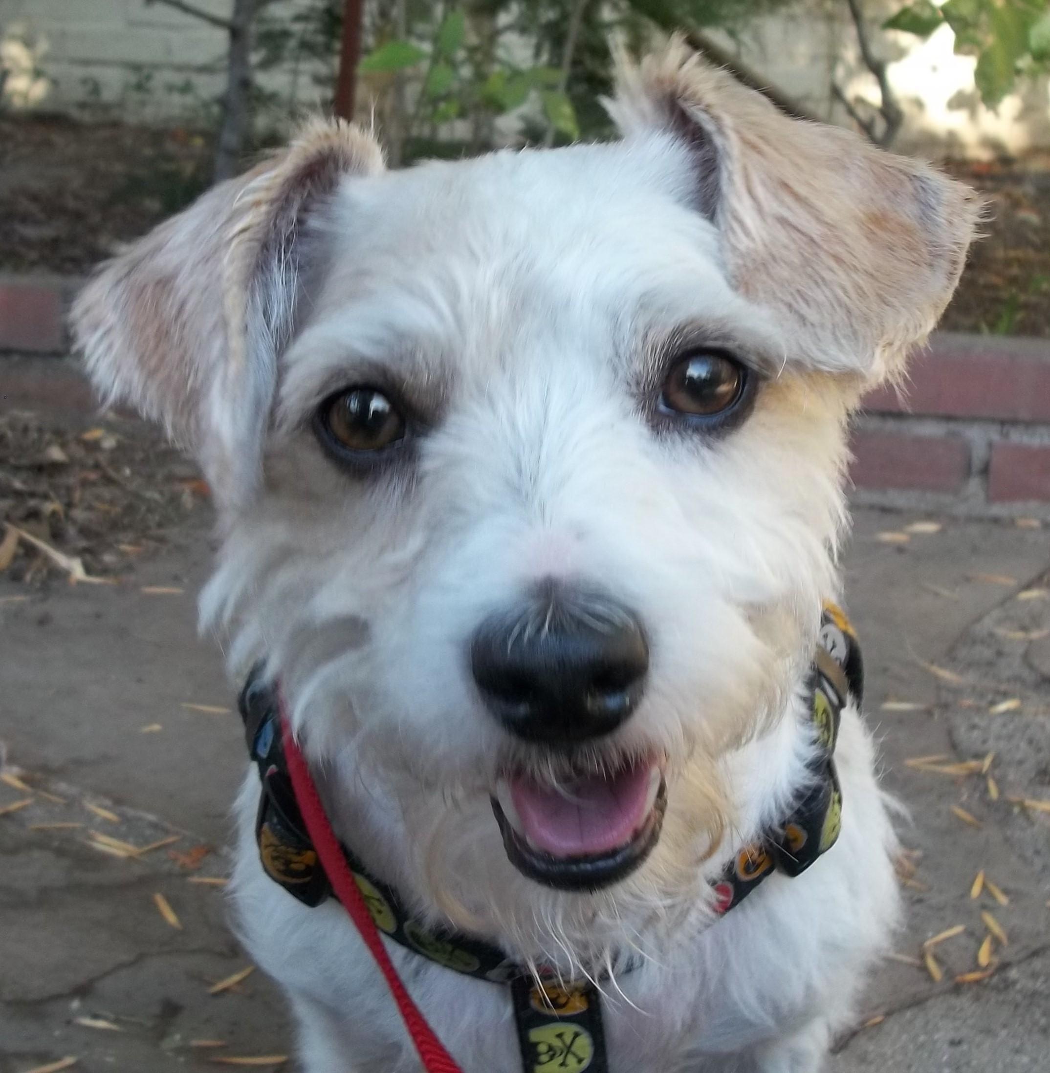 Adopt Jones on Jack russell, Jack russell terrier