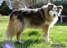 Image Result For Rough Collie Mix Dog Breed Names Dogs Golden