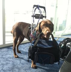 Learn How To Teach A Service Dog To Retrieve With This Fun