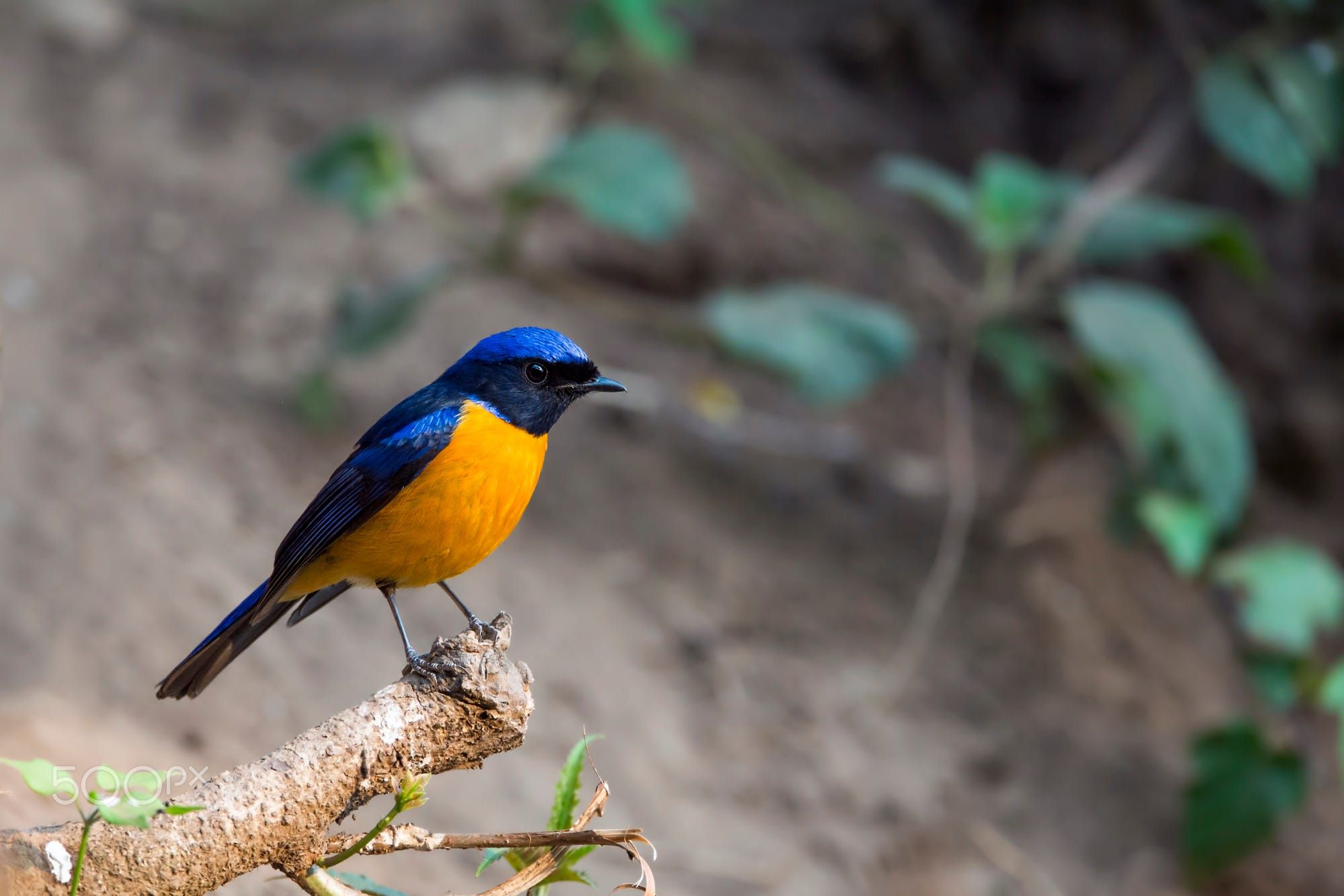 The rufousbellied niltava is a species of bird in the