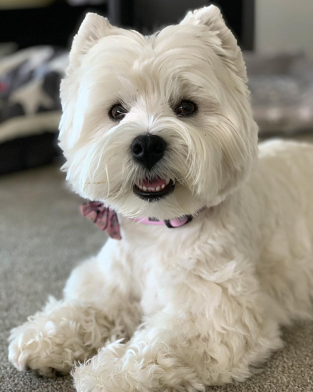 Our Sweet Friend Lola Lola Our Westie Bestie Challenged Us To