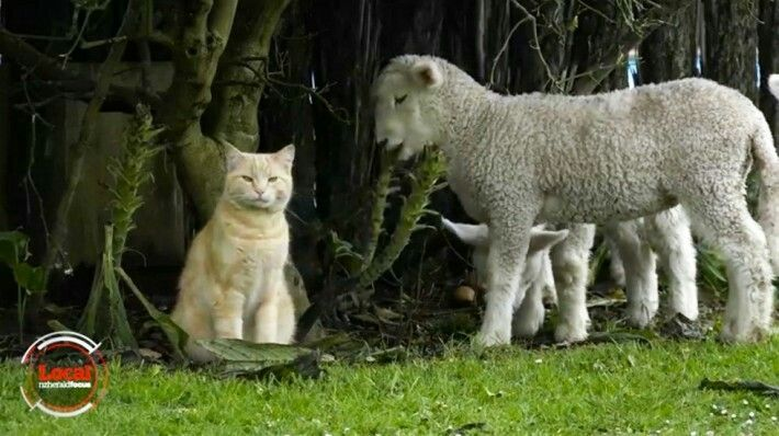 Meet The Cat Who's Convinced A Flock Of Baby Lambs To Follow Him Everywhere photo courtesy of Facebook