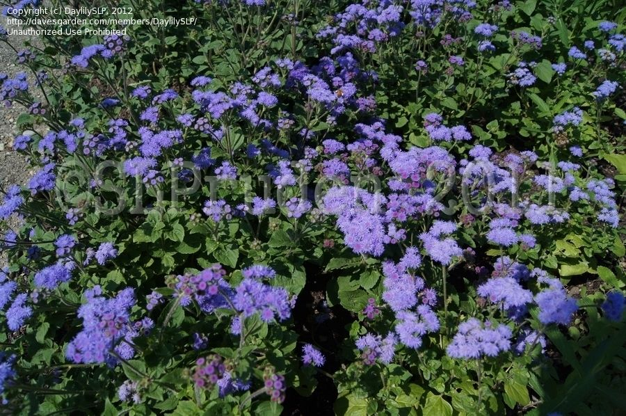 Plantfiles Pictures Floss Flower Ageratum Leilani Blue Ageratum Houstonianum 3 By 22cold Shade Garden Flowers Plants