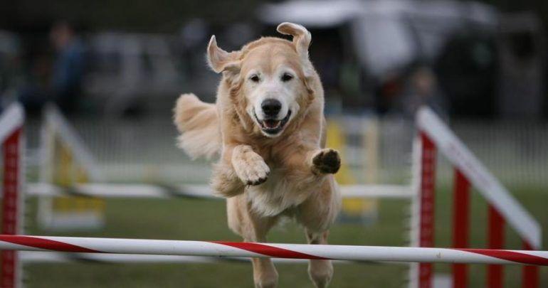 Canine sports how to build a backyard agility course
