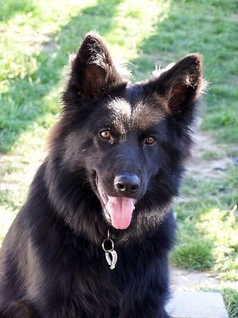 black german shepherds | Australian Pure Bred Dog Forums