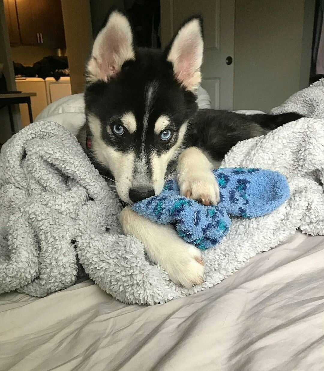 Nikki shik 🌹 dog animals husky bed Siberian husky