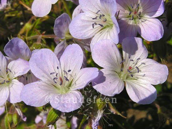 Woodland Geranium 'Ice Blue' (Geranium sylvaticum)