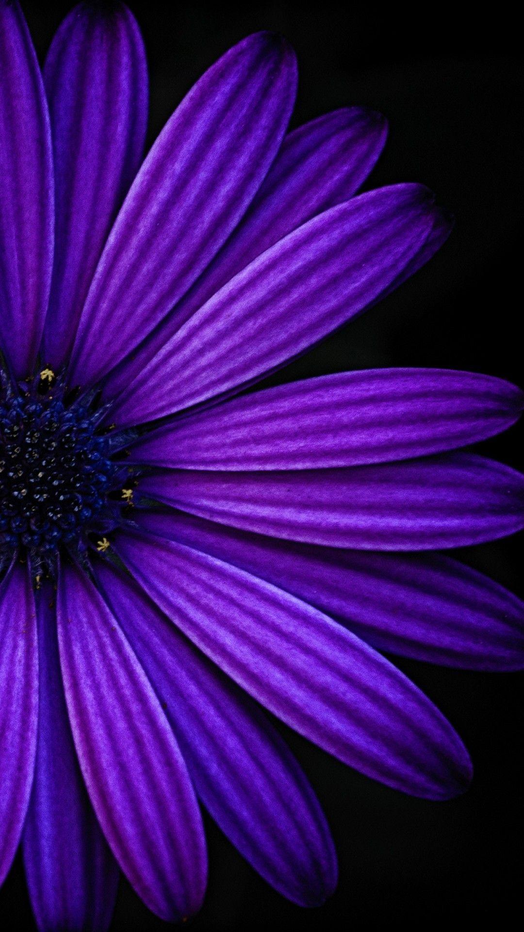 Violet, Purple, Blue, Petal, african daisy, Flower