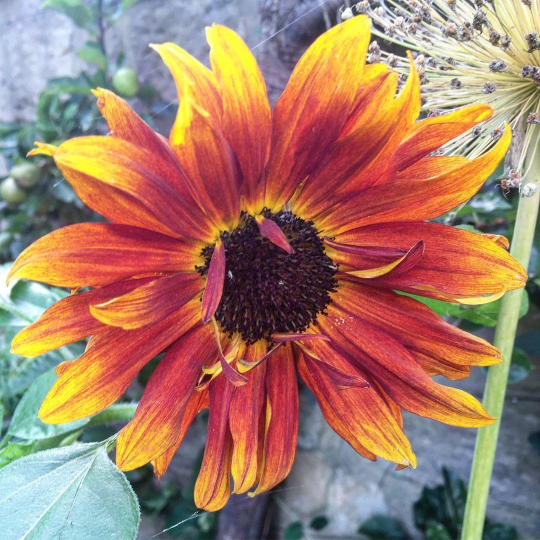 Sunflower Terracotta Beautiful Painterly Shades And Dwarf In Height Mygardenthismonth Begins With S Myhousethismonth Myho Gartenliebe Garten
