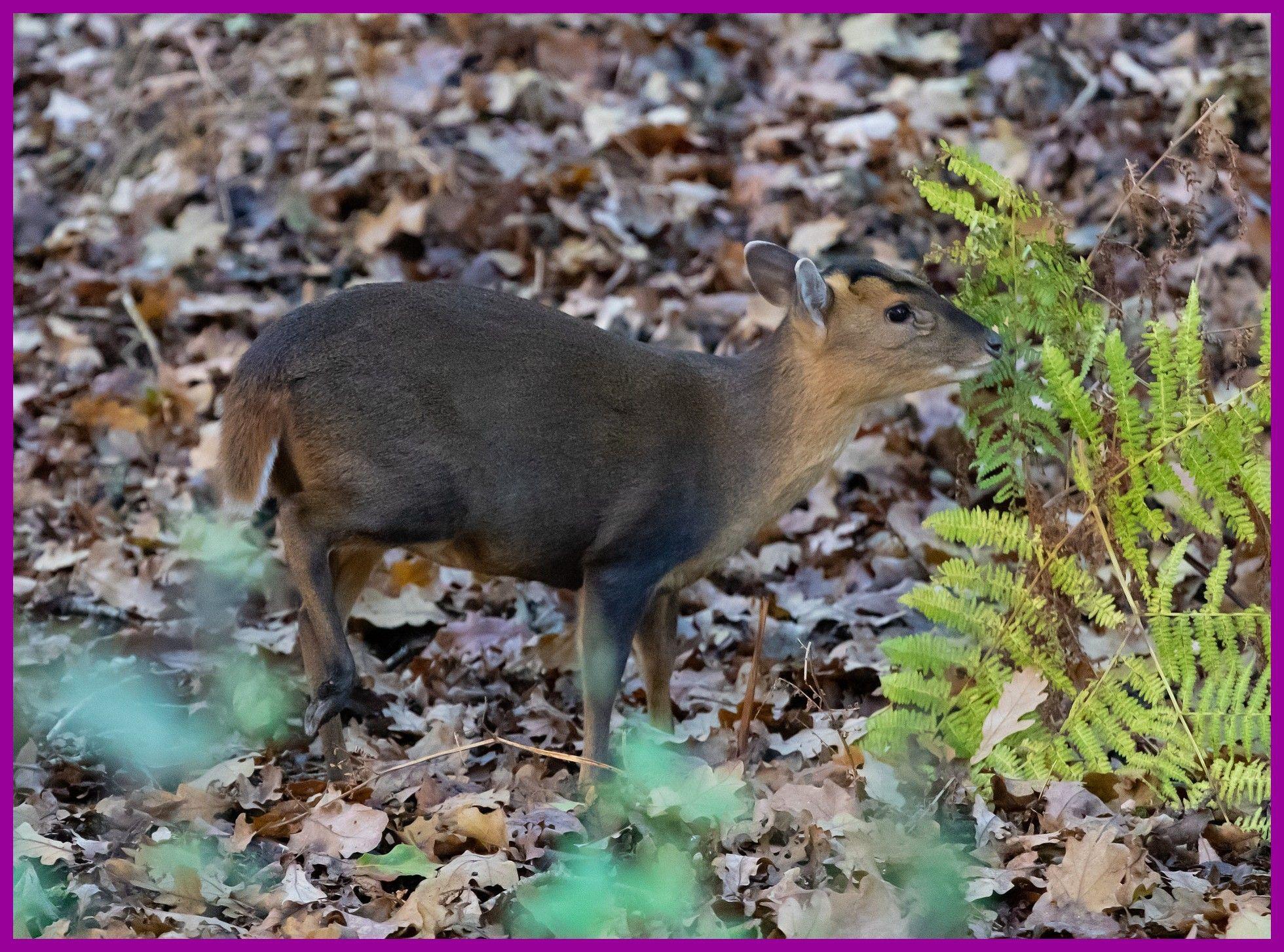 Muntjac Muntjac Deer Uk Deer Muntjac Muntjac Deer Uk Deer