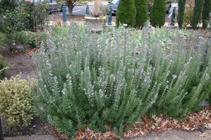 Rosemary /'Gorizia/'  Culinary Herb Plants