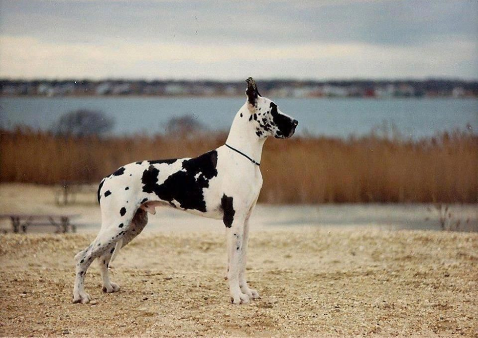 Dogzonline Great Dane Puppies For Sale Australia Pure Breed