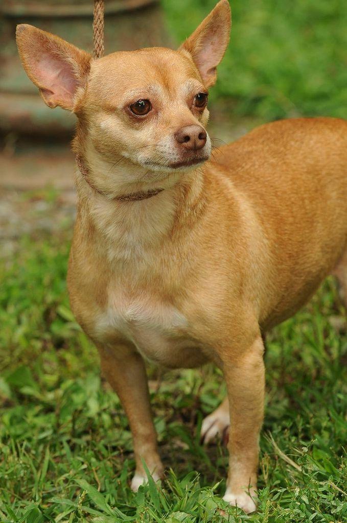 Adopt Teeku 1 28 17 On Chihuahua Dogs Dogs Chihuahua Puppies
