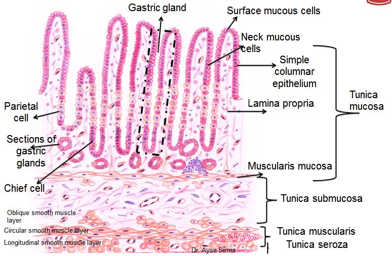 Stomachhematoxylin eosin histology stomach pinterest stomachhematoxylin eosin ccuart Gallery