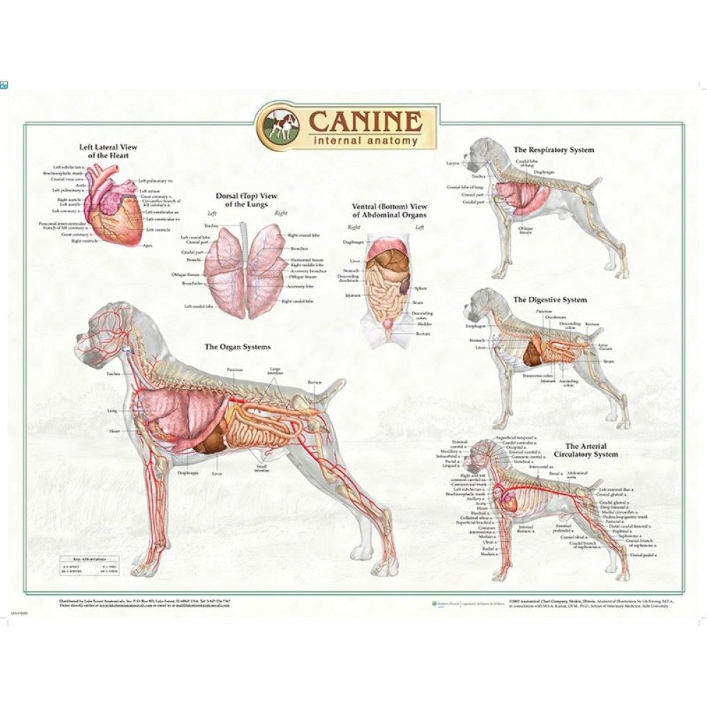 Dog Vital Organs Diagram Volvo S40 V50 2004 Wiring En Picture Internal Human Anatomy Pictures Pinterest Canine Chart 92525 Poster