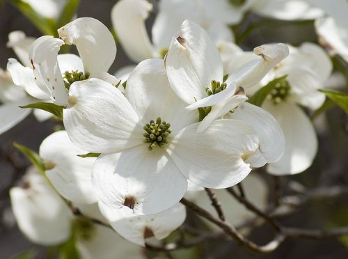 b93e471b4cd Dogwood - North Carolina s State Flower