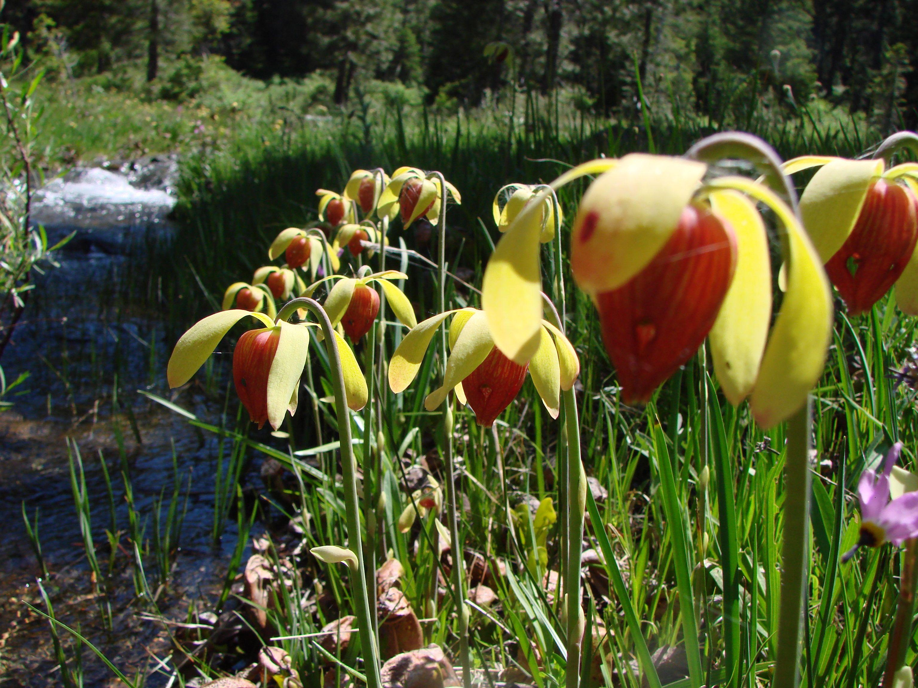 Cobra Lily Flowers Perennials Bulbs Pinterest Lilies Flowers