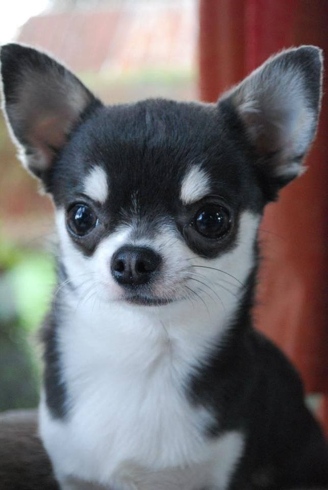 Black White Chihuahua Les Amours De Puppy Is The Pup On Sale