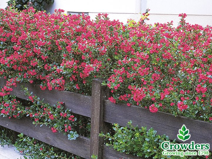 Escallonia Rubra Crimson Spire Hedge Google Search