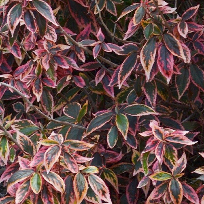Acalypha Firestorm Acalypha Plants Full Sun Plants Australian