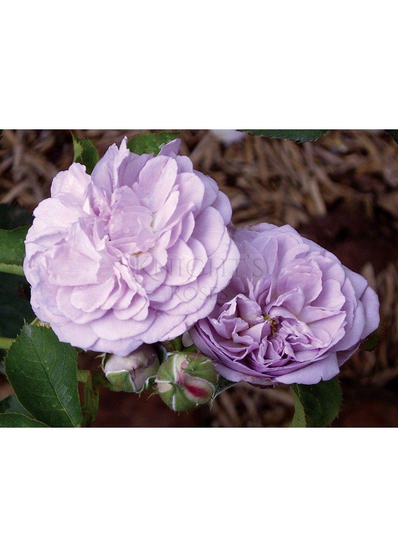 Florence Delattre ™ Bush Rose, Pretty flowers, Flowers