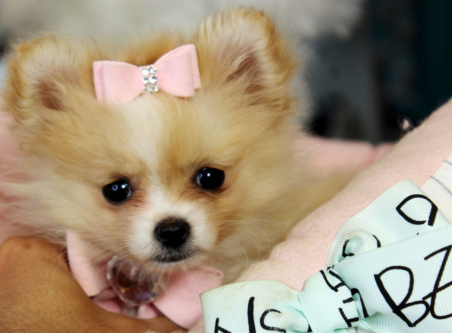Teacup Teddy Bear Poms! ♥♥♥ Bring This Perfect Baby Home