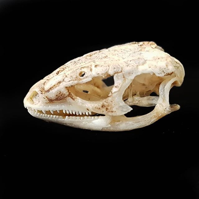 I Also Got This Lizard Skull With The Chameleon Skull I