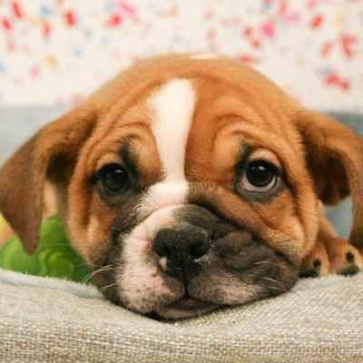 Miniature Bulldog Puppies Available In Phoenix Tucson Az Puppiestucson Puppies And Kittens Bulldog Puppies Puppies Dogs