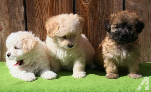 Adorable Schnoodle Puppies in 2020 Schnoodle puppy