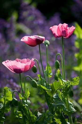 Pin By Karien Deminey On Flowers Pink Poppies Poppies Flowers