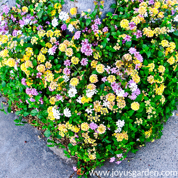 How To Prune 2 Different Types Of Lantana In Spring Plants Lantana Plant Lantana