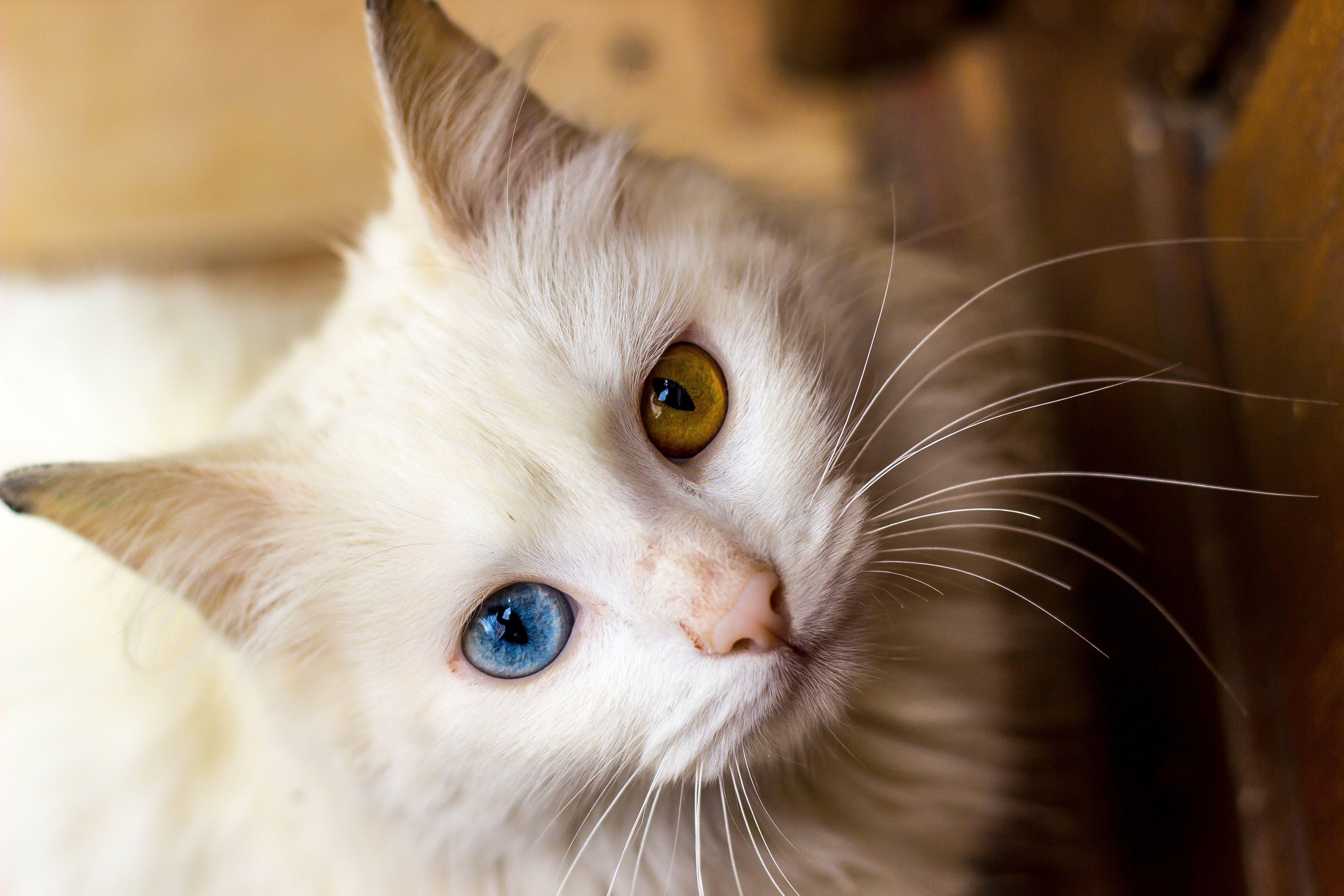 white fur cat with brown and blue eyes white fur cat